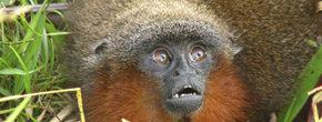 La nueva especie de mono tití hallada por los investigadores, el Callicebus caquetensis. |