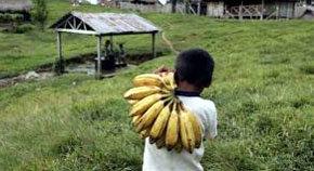 Un niño del pueblo shawi en la comunidad de Fray Martín, Perú, transporta plátanos.