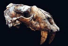 Hallan fósil de tigre dientes de cimitarra en Venezuela