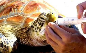 La Oficina de Turismo de Tahití y sus islas contribuye a salvar tortugas