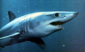 Un ejemplar de tiburón  marrajo (Isurus oxyrinchus)