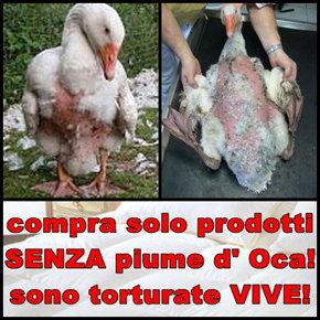 Crueldad contra Ocas, patos y gansos