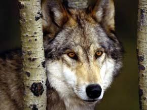 Los lobos ayudan a predecir el efecto en los animales del cambio climático