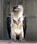 Proponen introducir en 2012 cinco crías de quebrantahuesos en Picos de Europa