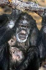 Booie, el chimpancé fumador