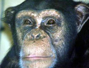 Expertos aconsejan restringir los ensayos clínicos con chimpancés