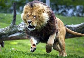 El león se extingue