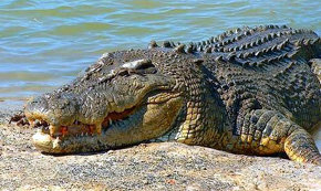 Australia se plantea autorizar los safaris de cocodrilos para promover el turismo