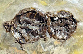 Tortugas fosilizadas en plena cópula. A la izquierda, la hembra. Imagen: Senckenberg Research Institute