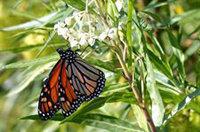 Las mariposas monarca cruzan el Atlántico y se instalan en Andalucía