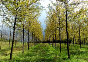 La plantación comercial de árboles nobles 'más grande del mundo', situada en Talayuela (Cáceres)