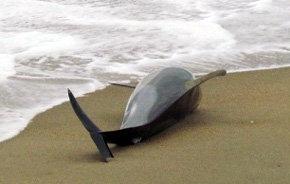 Per�. Seg�n ONG�s la muerte de delfines es debido a las ondas sonoras de las prospecciones petrol�feras