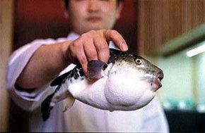 Pez Fugu, la delicia culinaria m�s peligrosa del mundo