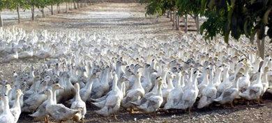 El problema viene por el modo en que se ceba a las aves para que su hígado aumente de tamaño.