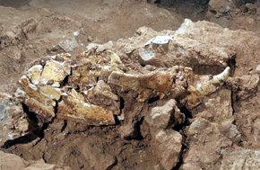 Encuentran un cráneo completo de oso de casi un millón de años en Atapuerca