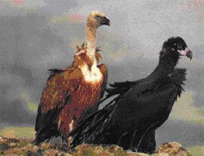 Buitres de diferente plumaje acechan hambrientos