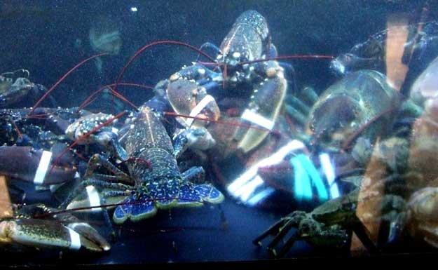 Acuario del establecimiento con mariscos vivos (Foto: Juan Ignacio Vera)