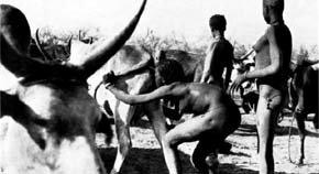 Una mujer nuer insufla aire en la vagina de una vaca | Foto: Archivo