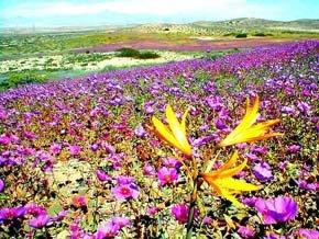 Desierto florido, en Atacama