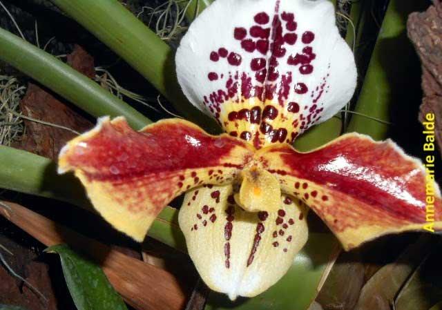 Ecuagenera: Las orqu�deas de Gualaceo, Ecuador