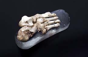 Fósil del pie 'Vicente del Bosque', descubierto en la Sima de los Huesos de Atapuerca. Museo de Evolución Humana