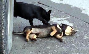 El perro mueve a su amigo tratando de hacer que reaccione.