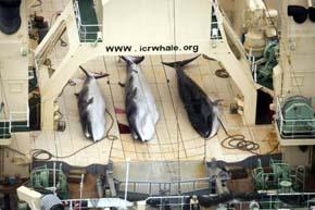 La Corte Internacional decide revocar los permisos de caza de ballenas de Japón