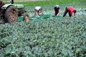Miles de niños trabajan en las plantaciones de tabaco en EE.UU.