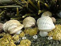 Los caracoles marinos del atlántico han aumentado de tamaño
