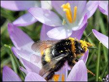 El uso del veneno de abeja en el tratamiento de la artritis no es nuevo.