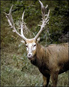 El ciervo del padre David es una de las especies declaradas extintas en la vida silvestre.