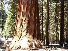 Los árboles gigantes cumplen una función en el ecosistema aún después de que han muerto.