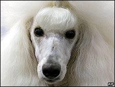 Los perros descienden del lobo gris de Eurasia.