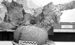 Restos del dinosaurio hallado en la Patagonia argentina