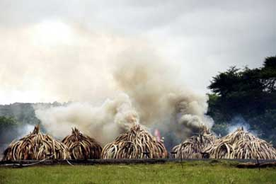 Cien toneladas de marfil ardieron en Kenia