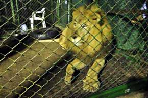 Liberan en Sud�frica a los 33 leones rescatados de circos de Colombia y Per�