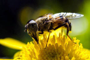 Pesticidas, posibles culpables de la desaparici�n de las abeja