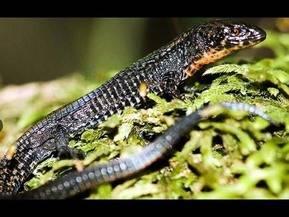 Esta nueva especie de lagartija fue descubierta en el Santuario Hist�rico de Machu Picchu.