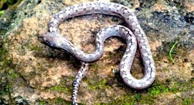 La serpiente fantasma con ojos de gato: una nueva especie habitante en Madagascar