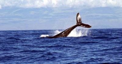 Este lunes se reanud� debate mundial sobre caza y protecci�n de ballenas