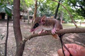 Descubren dos nuevas especies de chuchas en Colombia