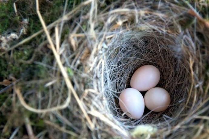 Las parejas de pájaros se reparten tareas para poder defender el nido