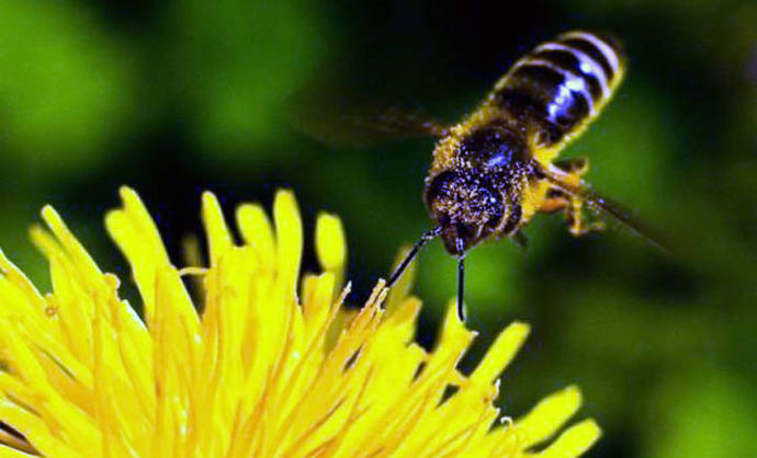 Científicos crean primera abeja robótica que poliniza como una real