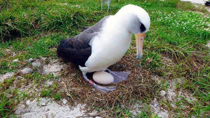 Un ave silvestre de 66 años espera una nueva cría