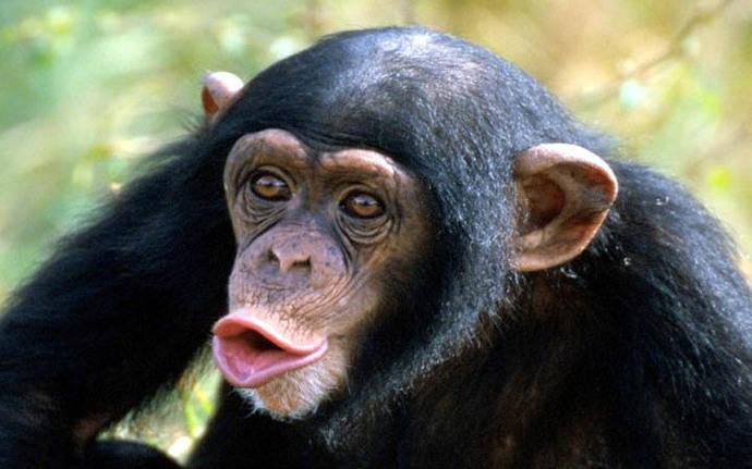 A los monos sólo les falta un mejor cerebro para poder hablar