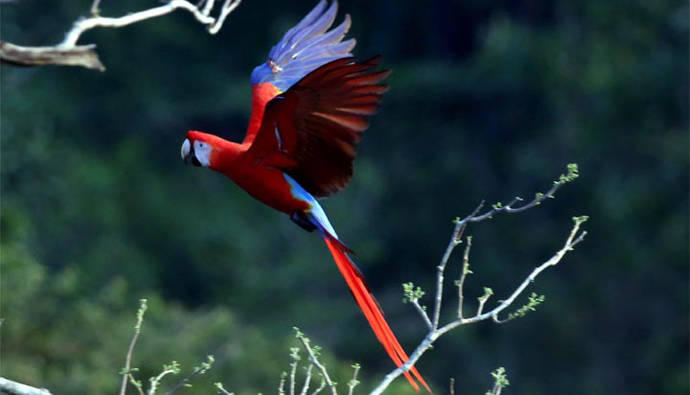 Xcaret y Conanp fortalecen programa de conservación de la Guacamaya Roja en México