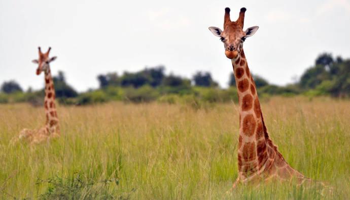 La jirafa africana se convierte en especie amenazada