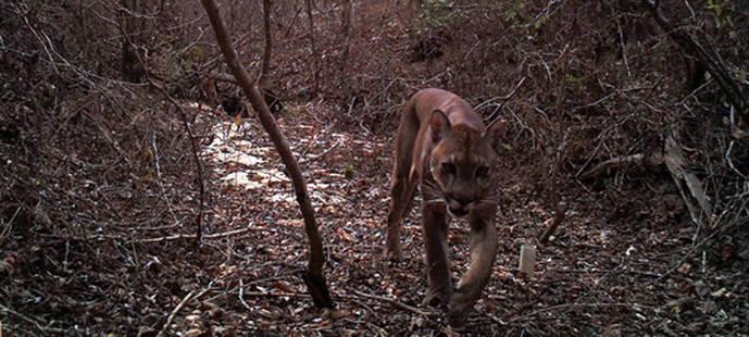El ciervo y el puma, en peligro por la fragmentación de hábitat en Ecuador