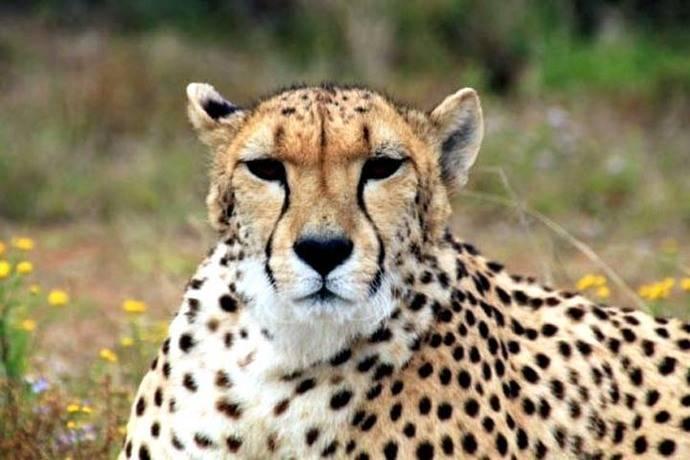 Movilización para salvar al guepardo, que está al borde de la extinción