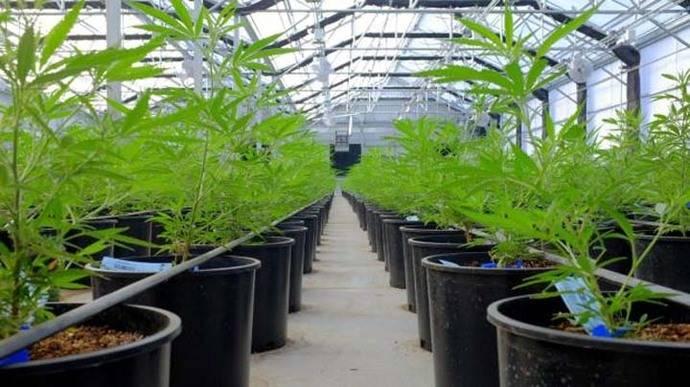 Canadá permitiría venta minorista de marihuana recreativa